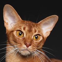 2018 best Abyssinian The High Life