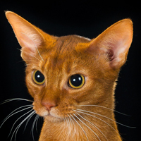 Abyssinian 1 Alter Like Me Now White