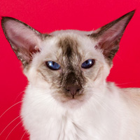 Balinese 1 Cat Xxtravaganza Galloway