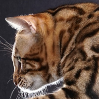 Bengal 1 Cat Fire Jacobson