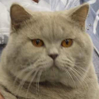 British Shorthair 1 Kitten