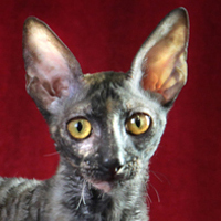 Cornish Rex 1 Kitten