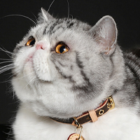 Exotic Shorthair 1 Alter