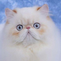 Himalayan 1 Cat Eclipse Wu