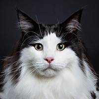 cde07bb47375aa Best of Breed  Maine Coon Polydactyl