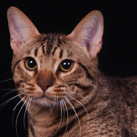 Best Ocicat Of The Year