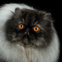 Persian 1 Cat Jarod Decuzzi