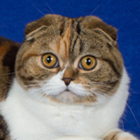 Scottish Fold 1 Cat Felisia Maddocks