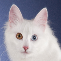 2018 Best Turkish Angora