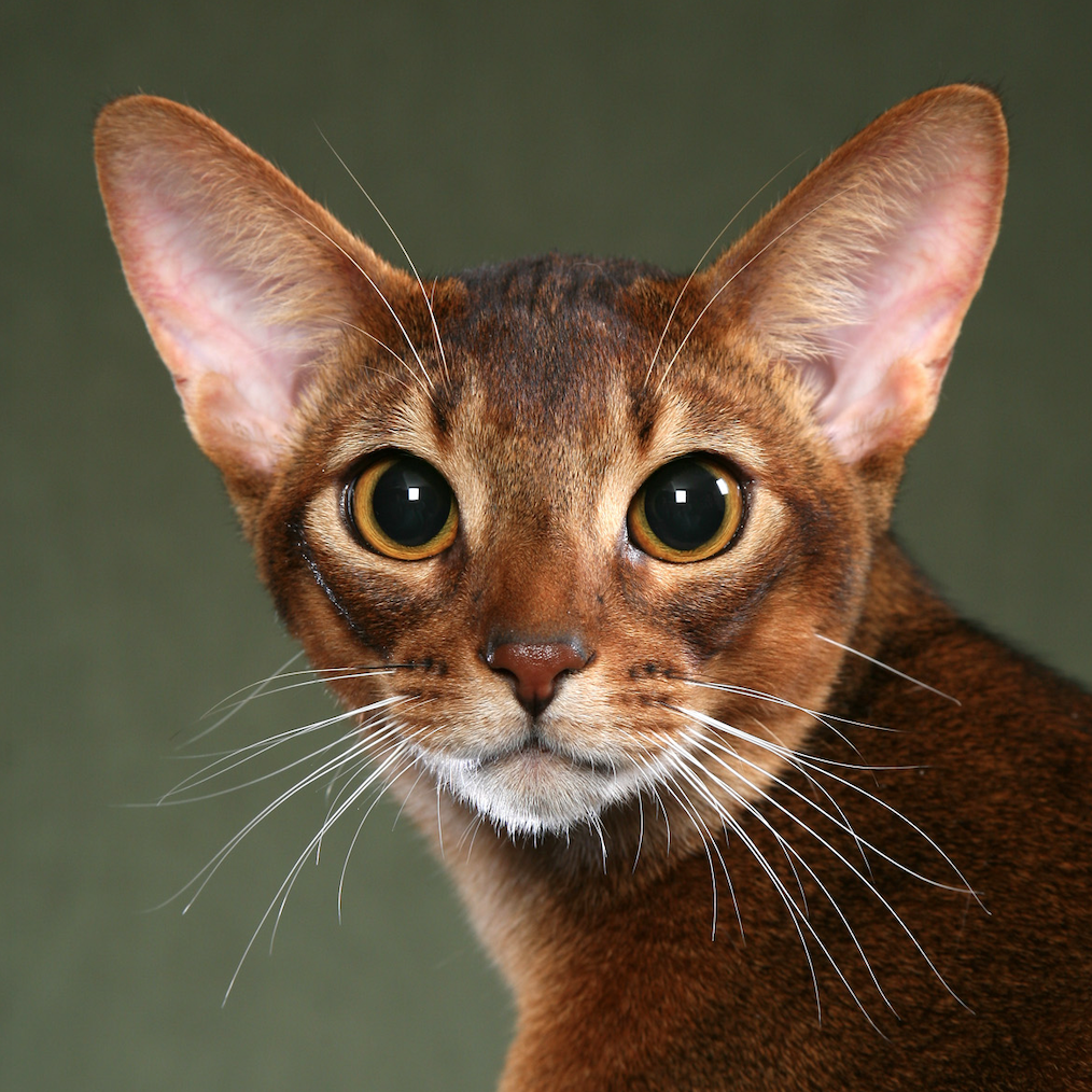Abyssinian Breed Head Shot