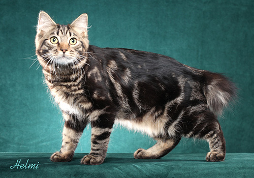 American Bobtail Full Body