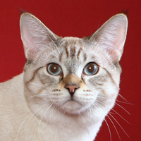 American Bobtail Breed Head Shot