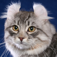 American Curl Head Shot