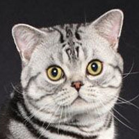 American Shorthair Breed Head Shot