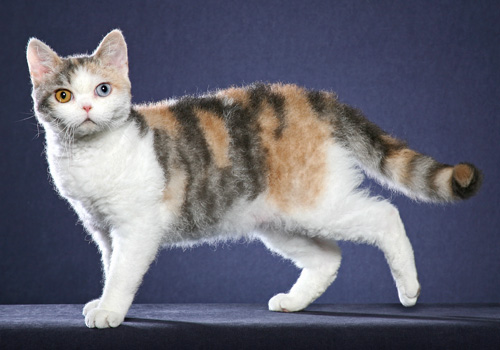 American Wirehair Full Body