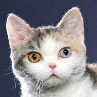 American Wirehair Breed Head Shot