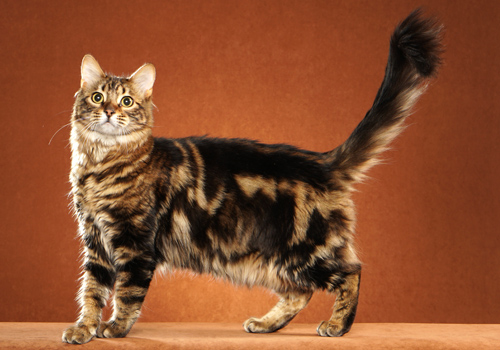 Bengal Longhair Full Body
