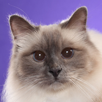 Birman Head Shot