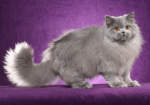 British Longhair Full Body