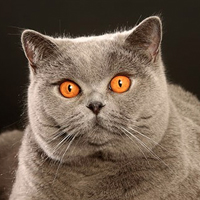 British Shorthair Head Shot