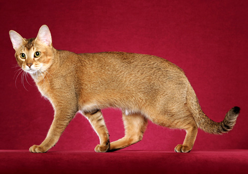 Chausie Full Body