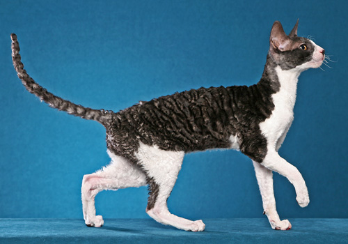 Cornish Rex Full Body