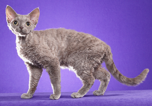 Devon Rex Full Body