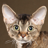 Devon Rex Head Shot