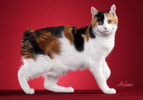 Kurilian Bobtail Full Body