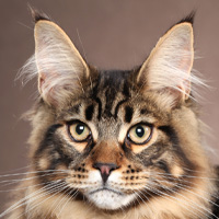 Maine Coon Head Shot