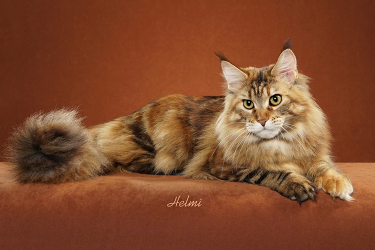 Maine Coon Orange Background