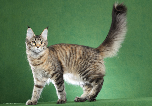 Maine Coon Polydactyl Full Body