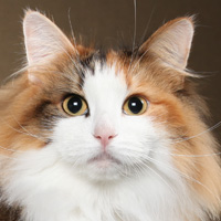 Norwegian Forest Head Shot