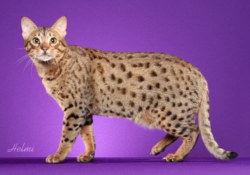 Ocicat Full Body