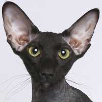 Peterbald Head Shot