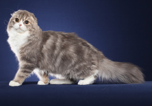Scottish Fold Longhair Full Body