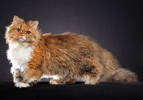 Selkirk Rex Longhair Full Body