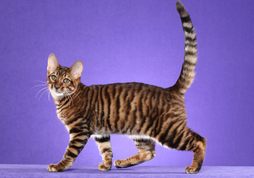 Toyger Breed Full Body copy