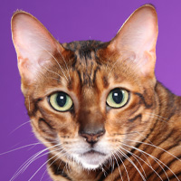Toyger Breed Head Shot