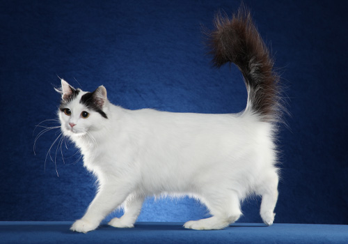 Turkish Van Full Body