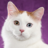 Turkish Van Breed Head Shot