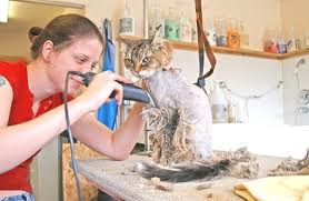 11610432 professional cat groomers understand cat care