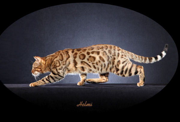 Beautiful bengal kitten at play