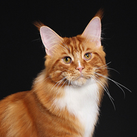 15th Best Cat and Best Maine Coon 1