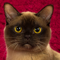 Best Burmese Cat