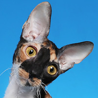 Cornish Rex 1 Cat Eye Candy Wilkins