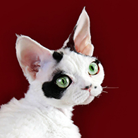 Devon Rex 1 Cat Channon Lorenzi