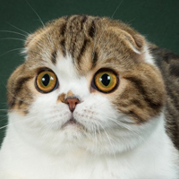 Scottish Fold 1 Kitten Pip Upham