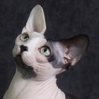 Sphynx 1 Cat Mata Hari Greene
