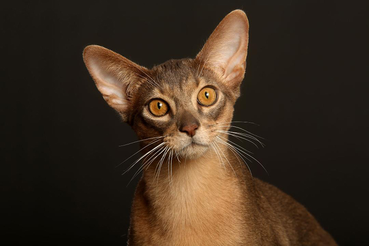 Best Abyssinian Kitten Of The Year: DIFFERENCE'S OURAGAN OF CATZANOV/LO